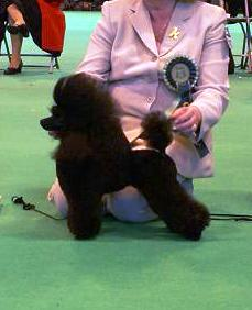 Jordan - Ch Sherrygold Witches Magic - Showing at Crufts 2007