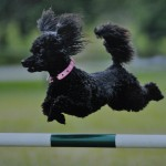 Martha - Jumping an agility course fence