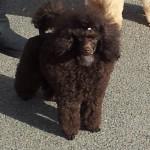 Victoria First Show Aged 6 months 1st Minor Puppy Bitch Britsh Toy Feb 2014