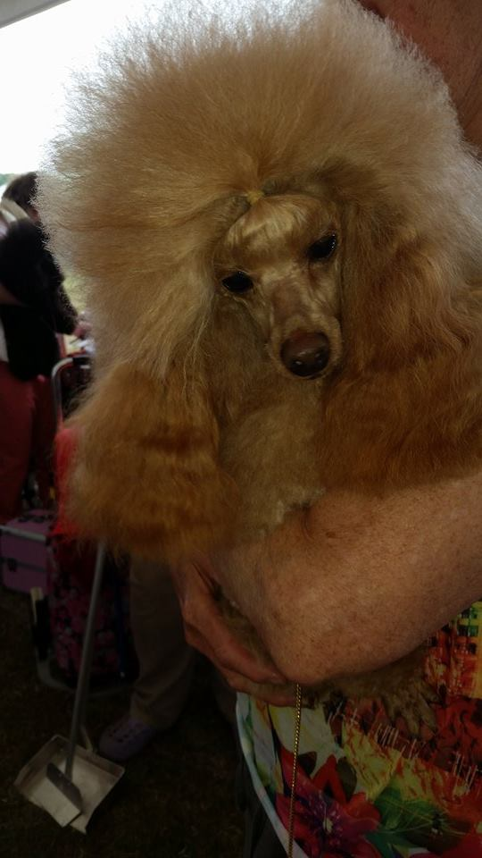 Poodle Breeders Edmonton moreover Poodle Show Uk together with Life Size Poodle Statues likewise Standard Poodle Breeders Alabama further What Does A Standard Poodle Puppy Look Like. on standard poodles for adoption in michigan